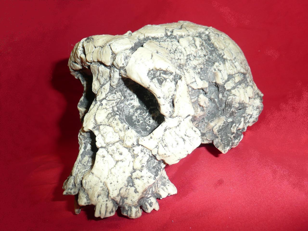 Le crâne de ToumaïPhoto: commons.wikimedia.org